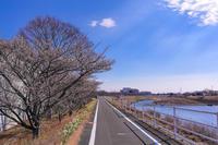 朝比奈川の寒桜 - やきつべふぉと