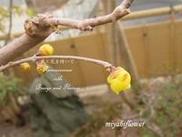食べられてしまった蝋梅と山形の郷土菓子「古鏡」 - 風と花を紡いで