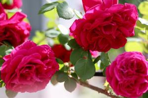 テスオブダーバービルズの誘引 - my small garden~sugar plum~