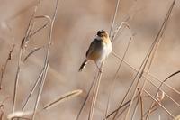 冬場のセッカさん - 鳥と共に日々是好日②