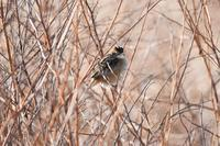 茂みのセッカさん - 鳥と共に日々是好日②