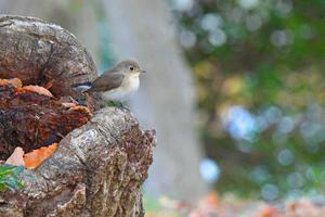 雑木林の鳥さん♪ <西尾白鶲> - 風のむろさん 自然の詩