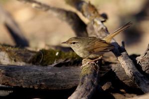 水場のウグイス - T/Hの野鳥写真-Ⅳ