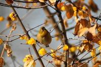 蝋梅とメジロ - 風見鶏日記