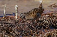 少しフレンドリーだったクイナ(秧鶏) - 野鳥などの撮影記録