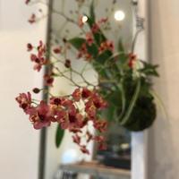 12/23 雨久花 ... オンシジュームの苔玉 - _mizuaoi_