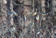 レンジャク - そらと林と鳥
