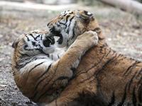 闘う子トラたち - 動物園放浪記