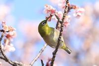 寒桜のサクジロー・1♪ - happy-cafe*vol.2