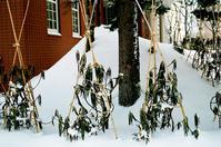 大寒の石楠花と初冬の石楠花 - 照片画廊