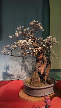 盆梅展 - 江州の忠太郎
