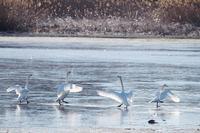 多々良沼の白鳥朝編7 - 光の 音色を聞きながら Ⅵ