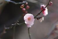 咲いた、咲いた - summicron