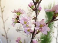 かづのの啓翁桜を生ける - 風と花を紡いで