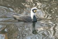 白頭巾繁殖羽のカワウ - そらいろのパレット