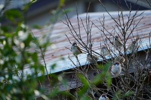 何時も同じ所に集まる雀 - 幸ちゃんの日々