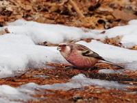 残雪の中のベニマシコ - コーヒー党の野鳥と自然パート3