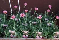 ローダンセマム入荷しました - 花と暮らす店 木花 Mocca