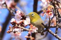 寒桜のサクジロー・2♪ - happy-cafe*vol.2