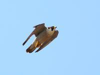Peregrine Falcon - 鳥のように自由に