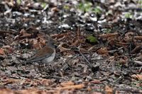 雨の決闘・・・シロハラさん - 鳥と共に日々是好日②