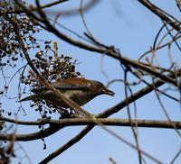 ハゼノキにシロハラもやって来た・・・ - 一期一会の野鳥たち