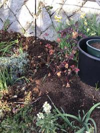 地植えバラの剪定と周囲に撒いたもの - バラやらナンやら