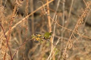 河川敷の野鳥達・・・(メジロ) - 野鳥と野鳥写真(観察と展示)