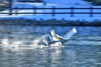 みちのく白鳥たち15 - みちのくの大自然