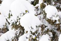 信越自然郷の鳥たちマヒワ - 野沢温泉とその周辺いろいろ2