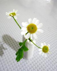 真冬に咲く?夏白菊★フィボナッチなマトリカリアシングルペグモ - 月夜飛行船2