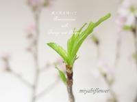啓翁桜の一種生けと瑞々しい新芽 - 風と花を紡いで