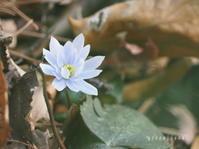 スプリングエフェメラル~ユキワリイチゲ♪ - green floral (旧green diary)
