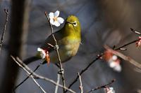 桜とメジロ - 鳥と共に日々是好日②