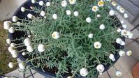 ラナンキュラスとプリムラ買ってみた - ウィズ(ゼロ)コロナのうちの庭の備忘録~Green's Garden~