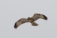 ノスリ - 北の大地の野鳥たち
