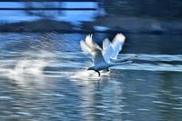 みちのく白鳥たち16 - みちのくの大自然