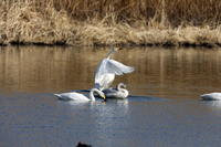 MFの沼でハクチョウを撮る - 私の鳥撮り散歩