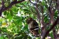 トラフズク初見です - 野の鳥  撮る録 in湘南