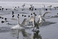 みちのく白鳥たち17 - みちのくの大自然