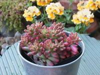 ピンク色に紅葉したセダム「オーロラ」 - あるまじろの庭