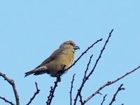 枝先に3羽のイスカが - コーヒー党の野鳥と自然パート3