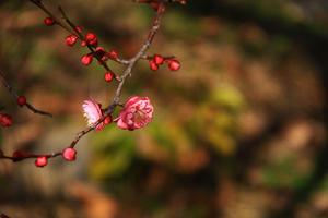 早春の梅は? -