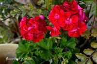 スナックでの話と、花は笑わないけど優れた聞き手であるって話。 - きょう、花が咲いた。もしかすると、昨日かもしれないが僕にはわからない。