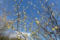 春を告げる冬の花 ② ロウバイ / @葛西臨海公園 - そらいろのパレット
