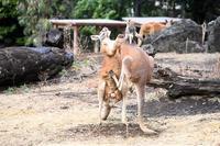 アカカンガルー - 動物園へ行こう