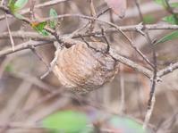 カマキリの卵鞘(らんしょう)は個性豊か! - 水元かわせみの里水辺のふれあいルーム