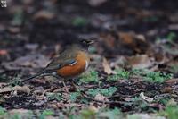食事にやって来るアカハラ - 野鳥公園