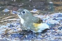 バシャバッシャン寒中水浴ルリ・メジロ(多摩丘陵の公園) - 旅プラスの日記