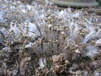霜柱立つ - 花の自由旋律